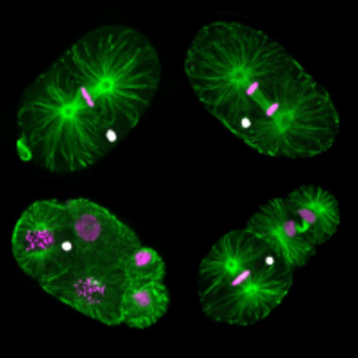 Montage of fluorescent images of M. belari embryos as they divide. The cytoskeleton appears in green, female DNA in magenta, and male DNA in white. Male DNA is not included in the nucleus of embryonic cells as they undergo division.