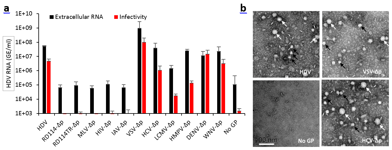 HDV particles generated with heterologous envelope glycoproteins are infectious.