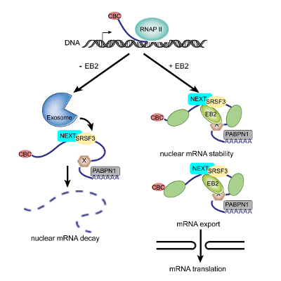Nuclear mRNA decay