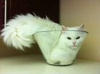 Ig Nobel: Rhéologie des chats